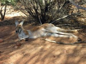 Kangaroo sitting in the shade