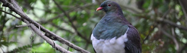 Wood Pigeon in Wellington